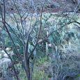 Prickly Pear Cactus near Phantom Ranch