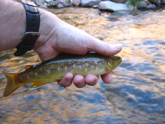 Brown Trout - Bright Angel Creek