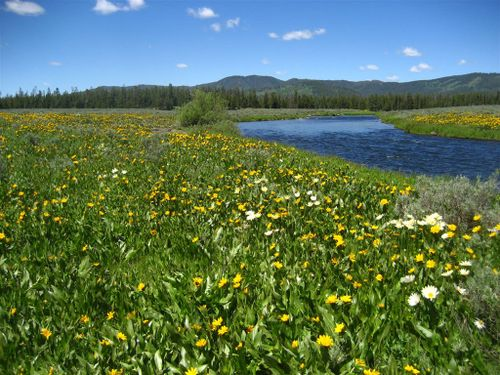 Flowers on the banks of Henry's Fork